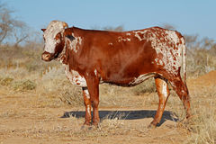 Sanga cow - Namibia. Sanga cow - indigenous cattle breed of northern Namibia, southern Africa Stock Photos