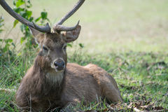 Sangai or Thamin deer Royalty Free Stock Images