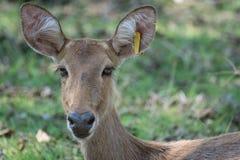 Sangai or Thamin deer Stock Images