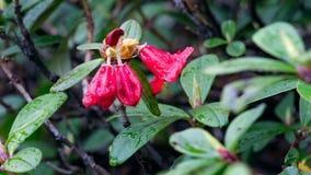 Sanghuineum del rododendro Immagine Stock
