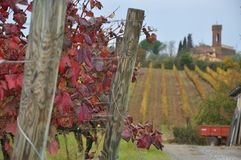 sangiovese圣米尼亚托的托斯卡纳意大利葡萄园 免版税图库摄影