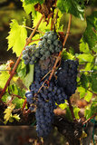 Sangiovese grapes Royalty Free Stock Photography