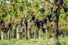 Sangiovese grapes in Montalcino, Italy Royalty Free Stock Images