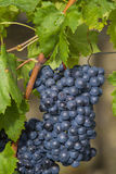 Sangiovese grapes in the Montalcino region of Tuscany Royalty Free Stock Photo