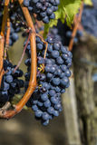 Sangiovese grapes in the Montalcino region of Tuscany Stock Photos