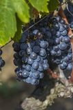 Sangiovese grapes in the Montalcino region of Tuscany Royalty Free Stock Photos