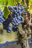 Sangiovese grapes in the Montalcino region of Tuscany Stock Photo