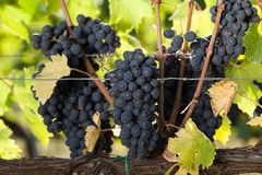 Sangiovese grapes Royalty Free Stock Images