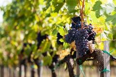 Sangiovese winogrona rzędy Fotografia Royalty Free