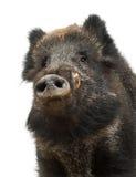 Sanglier, aussi porc sauvage, scrofa de Sus Photographie stock libre de droits