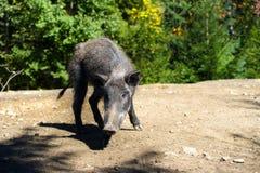 Sanglier dans la forêt Photographie stock