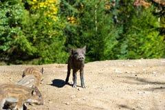 Sanglier dans la forêt Photos libres de droits
