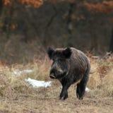 Sanglier en hiver Photo libre de droits