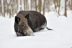 Sanglier en hiver Images libres de droits