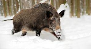 Sanglier en hiver Photos libres de droits