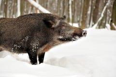 Sanglier en hiver Image stock