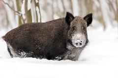 Sanglier en hiver Image libre de droits