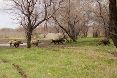 Sanglier marchant par l'herbe morte Photographie stock