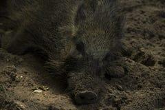 Sanglier paresseux se reposant au sol Photographie stock