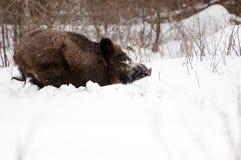 Sanglier pendant l'hiver Image stock