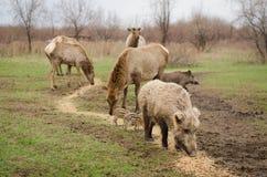 Sanglier sur le pâturage brun de cerfs communs de fond Image libre de droits
