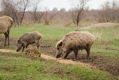 Sanglier sur le pâturage brun de cerfs communs de fond Photographie stock