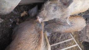 Sangliers à la ferme d'animaux Grande femelle de sanglier banque de vidéos