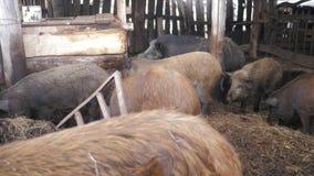 Sangliers à la ferme d'animaux Grande femelle de sanglier clips vidéos