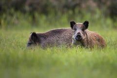 Sangliers dans le sauvage Photo libre de droits