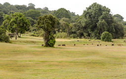 Sangliers et impala Images stock