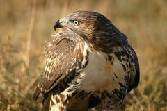 Sangre atada roja del halcón en el pico Fotografía de archivo