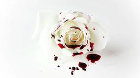 Sangre de goteo aislada en Rose blanca almacen de metraje de vídeo