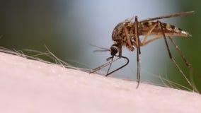 Sangre del mosquito que chupa en piel humana