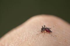 Sangre que chupa del mosquito del aedes Imágenes de archivo libres de regalías
