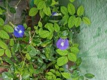 Sangu flower stock image
