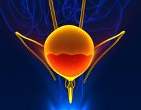 Sangue da bexiga no órgão interno masculino da anatomia dolorosa da urina - 3d ilustração do vetor