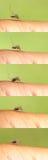 sangue-succhiamento della zanzara Immagine Stock