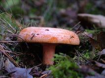 Sanguifllus de Lactarius, champignon de couche Image libre de droits
