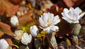 Sanguinaria canadensis, sieben Anlagen Stockfoto