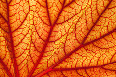 Sanguine geranium leaf Royalty Free Stock Photos