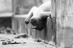 Sanguine monkey. In black & white Stock Photo