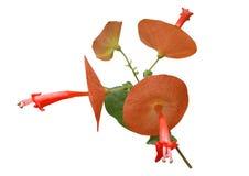 Sanguinea de Holmskioldia (planta chinesa do chapéu) Fotografia de Stock Royalty Free