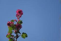 Sanguineum смородины Стоковое Фото