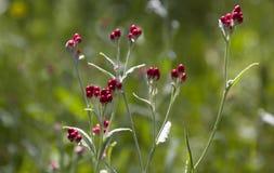 Sanguineum de Helichrysum - aka fleurs éternelles rouges, ruminage-mauvaise herbe rouge, fleurs au ressort en retard en Israël photo stock