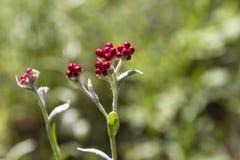 Sanguineum de Helichrysum - aka fleurs éternelles rouges, ruminage-mauvaise herbe rouge, fleurs au ressort en retard en Israël image libre de droits