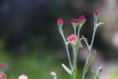 Sanguineum de Helichrysum - aka fleurs éternelles rouges, ruminage-mauvaise herbe rouge, fleurs au ressort en retard en Israël photographie stock