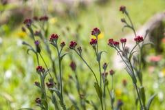 Sanguineum de Helichrysum - aka fleurs éternelles rouges, ruminage-mauvaise herbe rouge, fleurs au ressort en retard en Israël image stock