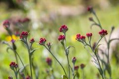 Sanguineum de Helichrysum - aka fleurs éternelles rouges, ruminage-mauvaise herbe rouge, fleurs au ressort en retard en Israël images libres de droits