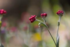 Sanguineum de Helichrysum - aka fleurs éternelles rouges, ruminage-mauvaise herbe rouge, fleurs au ressort en retard en Israël photos libres de droits
