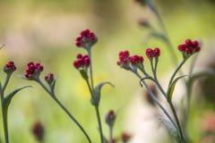 Sanguineum de Helichrysum - aka fleurs éternelles rouges, ruminage-mauvaise herbe rouge, fleurs au ressort en retard en Israël photographie stock libre de droits